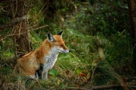 Fuchs – Merkblatt