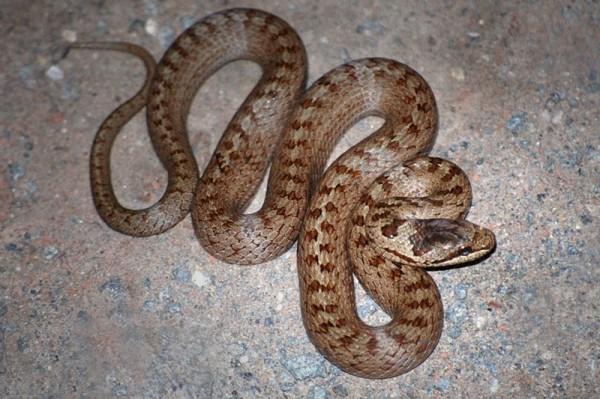 Reptil des Jahres 2013 – Schlingnatter