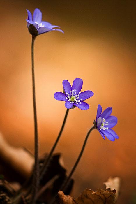 Blume des Jahres 2013 – das Leberblümchen