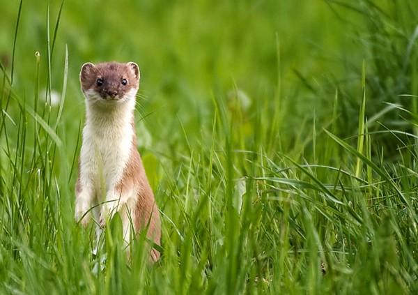 Wildtier des Jahres 2013 – Mauswiesel