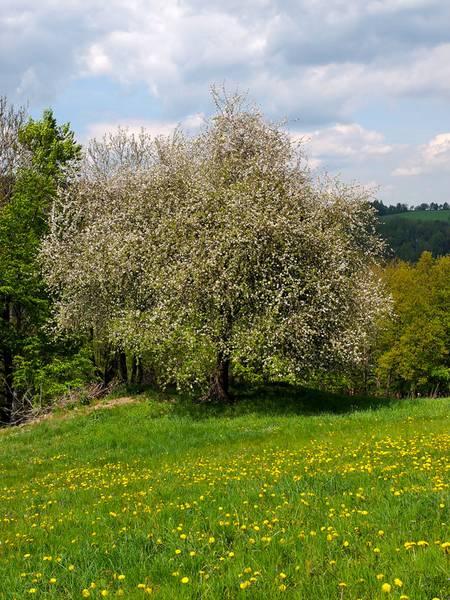 Baum des Jahres 2013 – Wild-Apfel