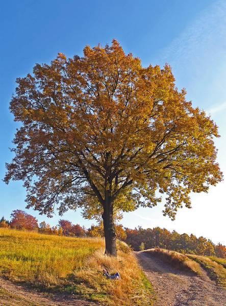 Baum des Jahres 2014 – Traubeneiche