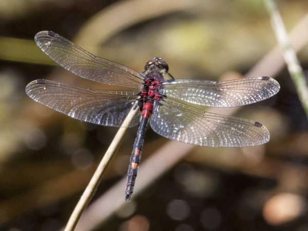 Libelle des Jahres 2014 – Die Kleine Moosjungfer