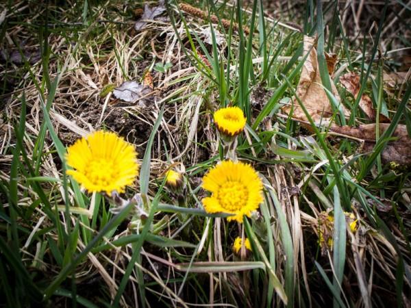 Frühlingsbote – Huflattich