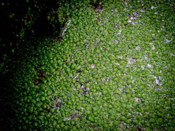 Entengrütze – oder Wasserlinsen