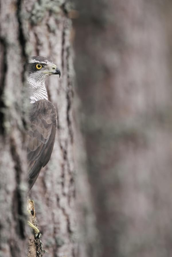 Vogel des Jahres 2015 – Habicht