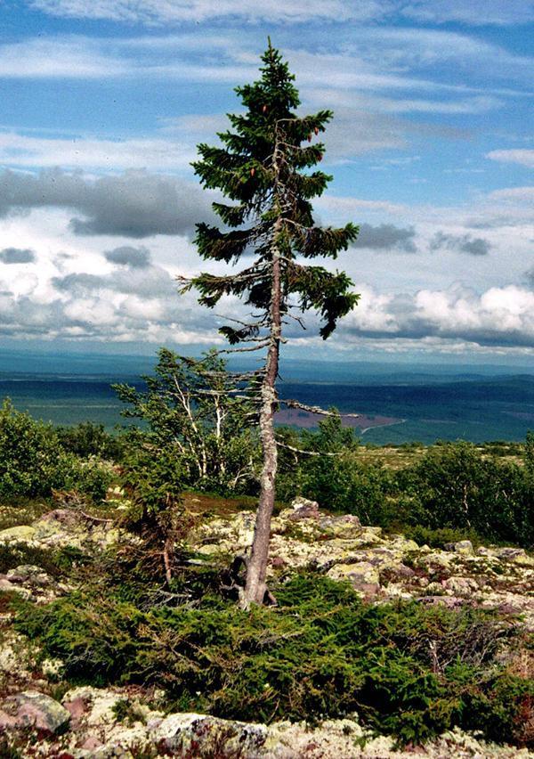 Sterben Bäume irgendwann an Altersschwäche?