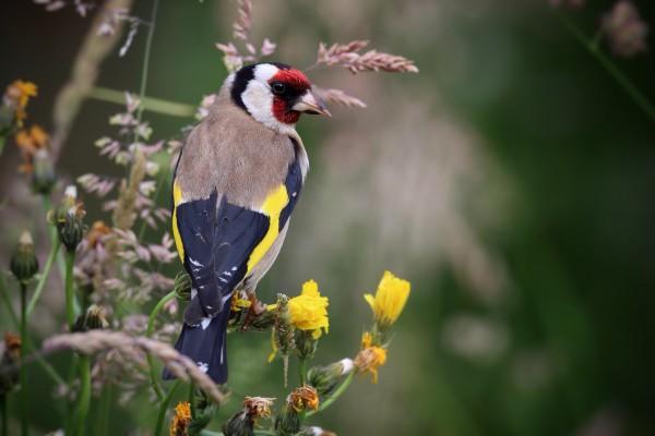 Vogel des Jahres 2016 – Stieglitz