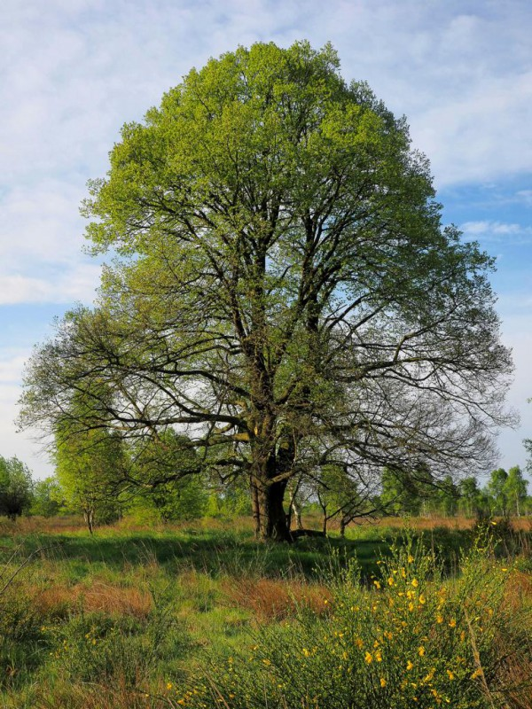 Baum des Jahres 2016 – Winter-Linde