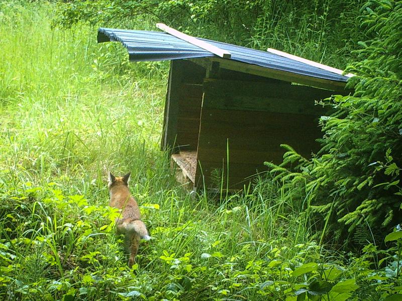 Fuchs an der Fasanenschütte