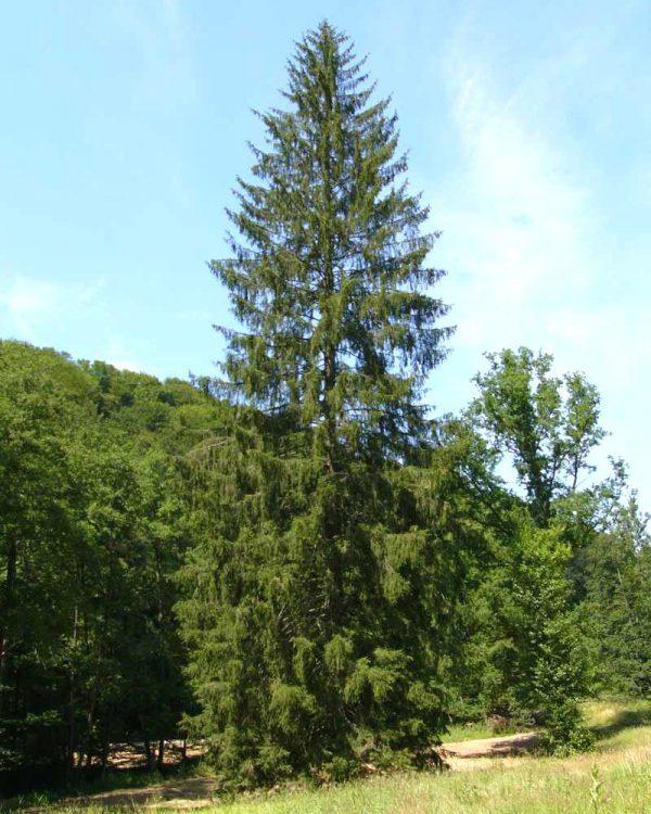 Baum des Jahres 2017 – Fichte