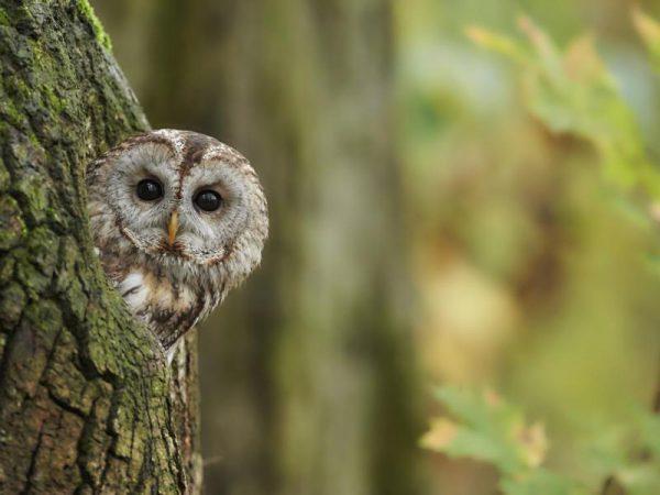 Vogel des Jahres 2017 – Waldkauz