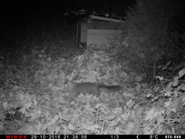 """Wildkatze – oder """"wilde"""" Katze?"""