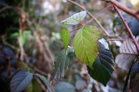 Wintergrüne Brombeere