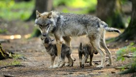 Wolfnachwuchs in Bayern