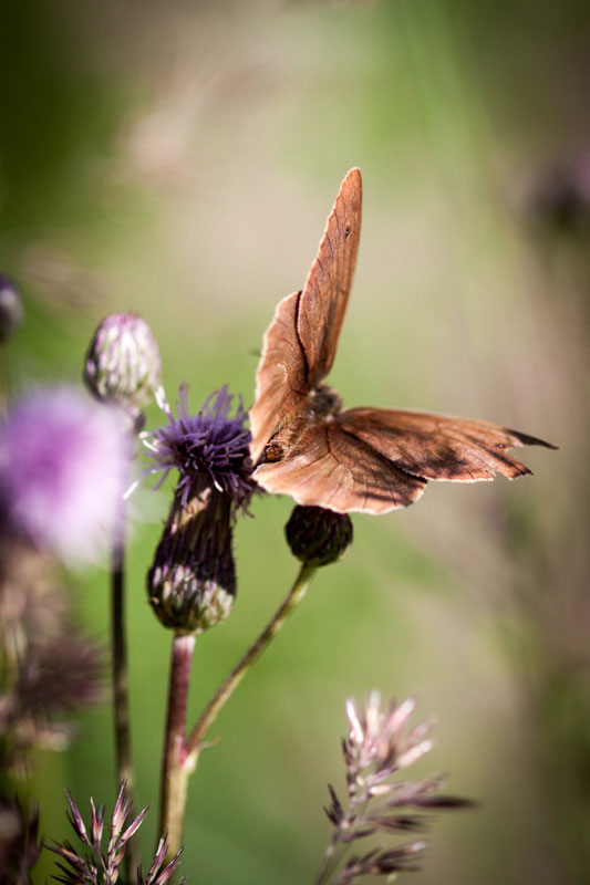 Seit wann gibt es Schmetterlinge?