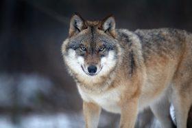 So oft hat der Wolf in Bayern zugeschlagen