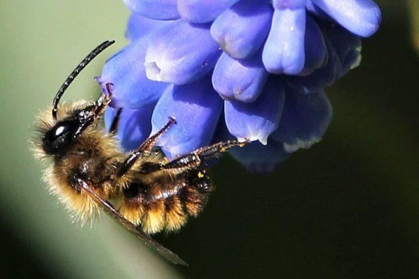 Insekt des Jahres 2019 – Rostrote Mauerbiene