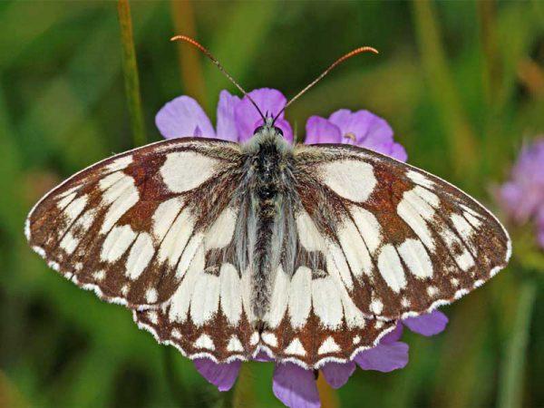 Schmetterling des Jahres 2019 – Schachbrettfalter