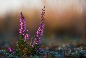 Blume des Jahres 2019 – Besenheide