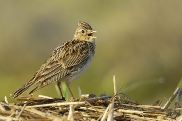 Vogel des Jahres 2019 – Feldlerche