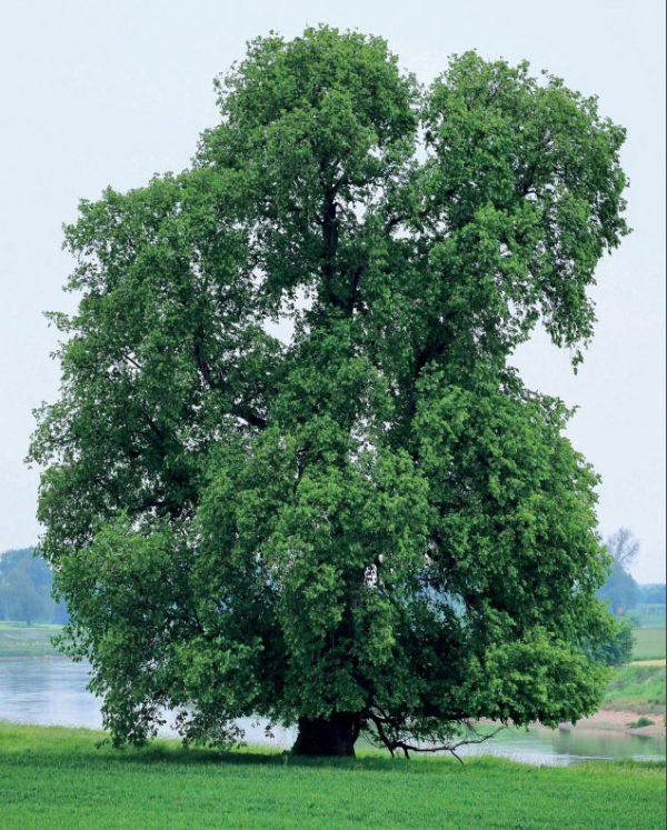 Baum des Jahres 2019 – Flatter-Ulme